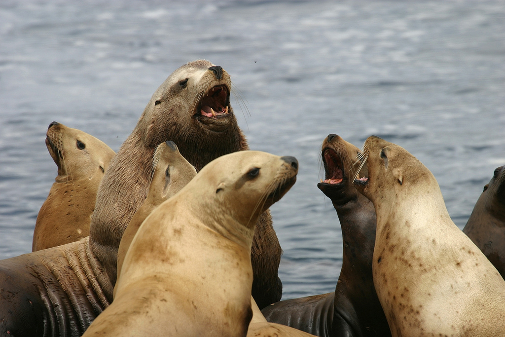 Two Alaska Commercial Fishermen Charged With Harassing, Killing Steller Sea Lions