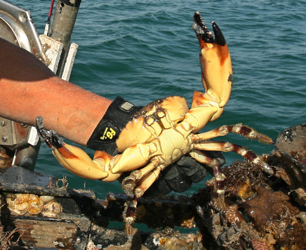 Fish and Wildlife Research Institue Conduct Long-term, Trap-Based Stone Crab Monitoring
