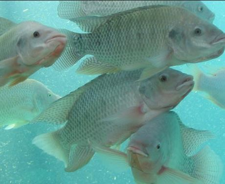 Jiangmen Zhenye Fishery Plans to Build China's Largest Tilapia Processing Company