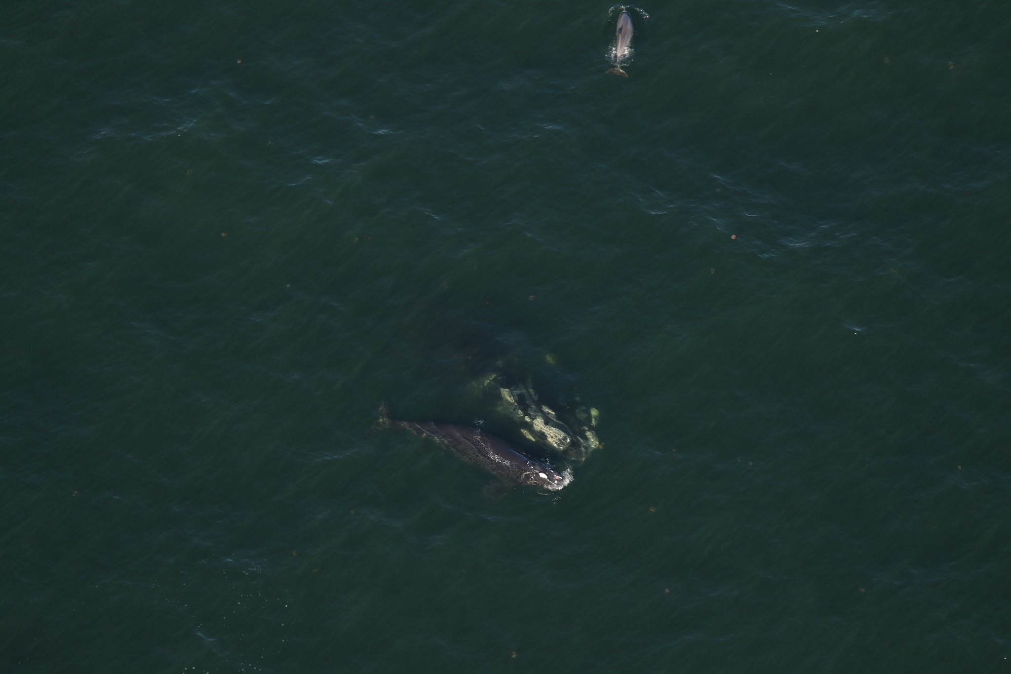 4th Right Whale Calf Spotted Off Georgia With Severe Injuries