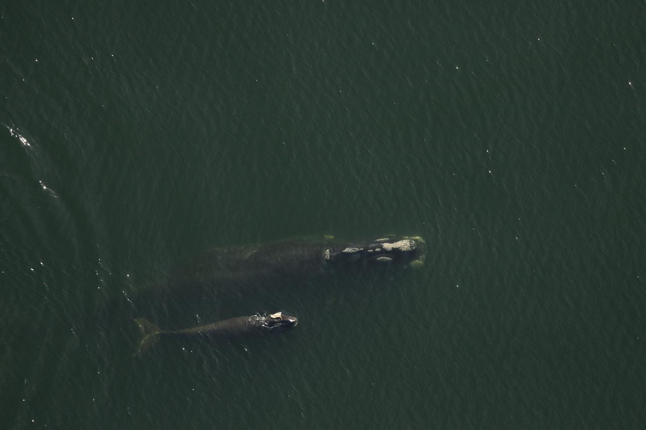 Injured North Atlantic Right Whale Calf Given Antibiotics, But Prognosis Poor