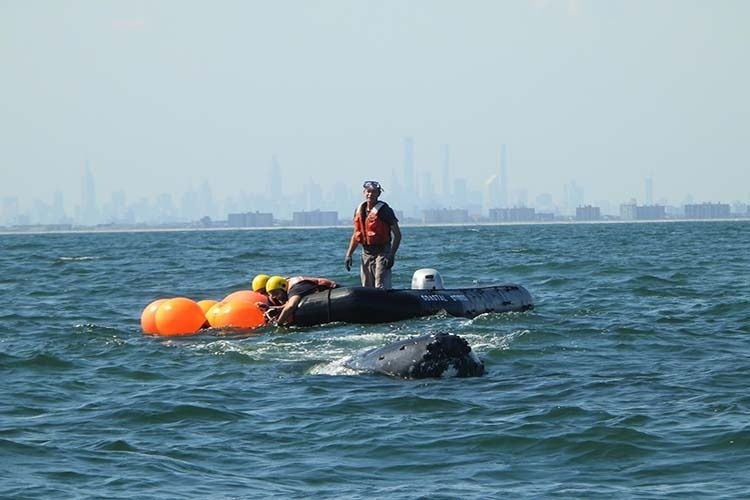 Humpback Whale Disentangled off New York After Multi-day Effort