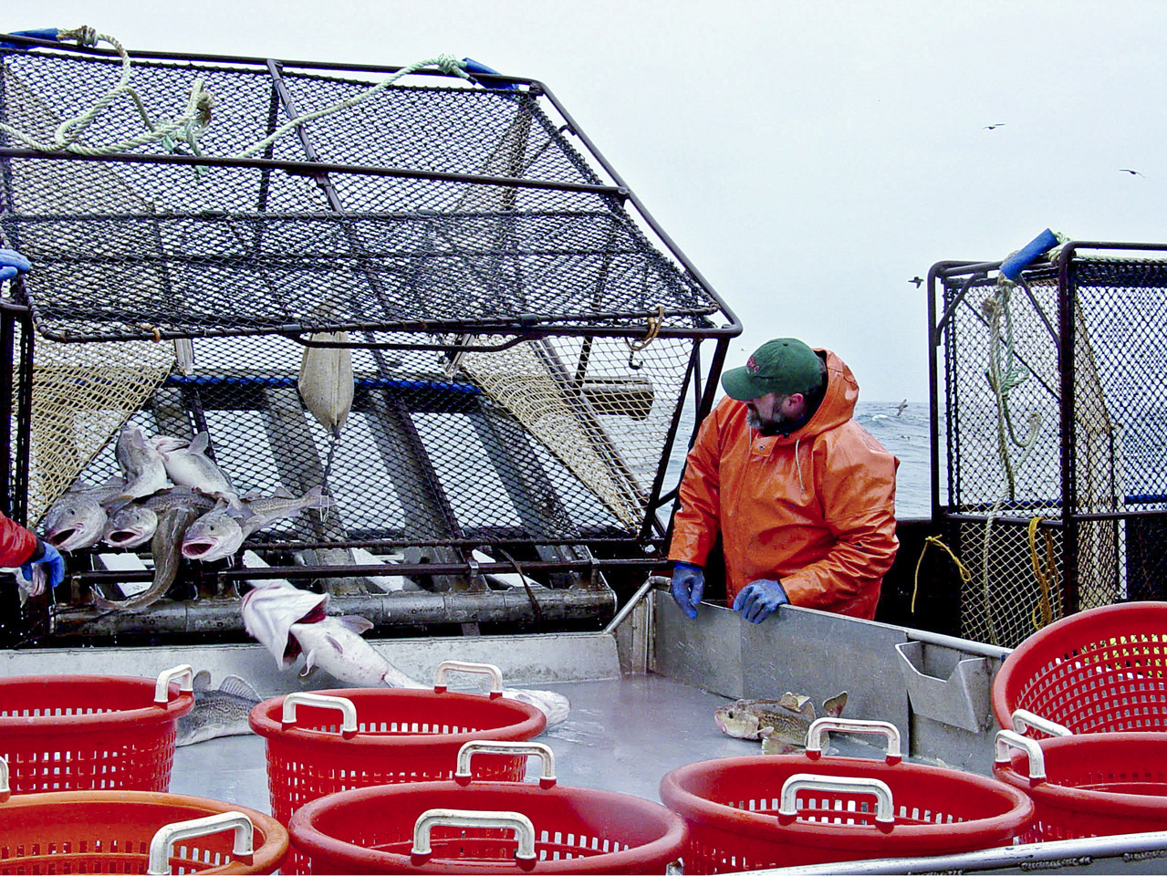 Genetic Evidence Points to Large-scale PCod Migration North in Bering Sea