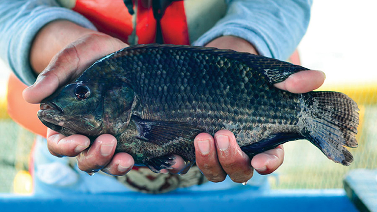 Regal Springs Tilapia Becomes First Producer to Use BAP-Integrated Traceability Systems