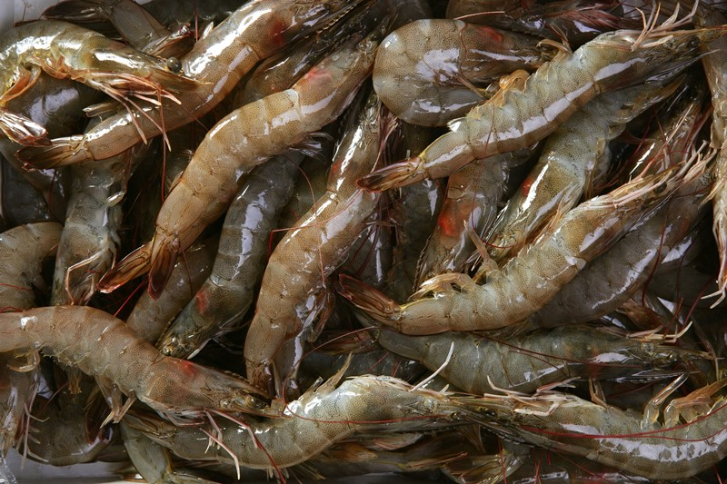 Thai Union to Expand Use of AlgaPrime DHA Feed Ingredient in Shrimp Farming Production