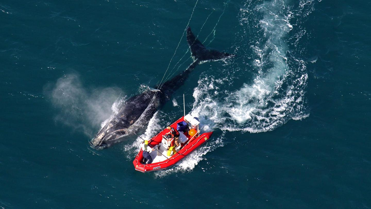 Study: Lobstermen and Right Whales Could Benefit from Less Fishing