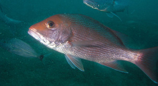 Red Snapper Management Change from Feds to Gulf States is Now in Public Comment Phase