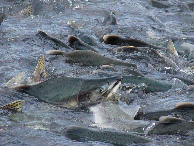 Kodiak May See $11.5 Million in Salmon Disaster Relief