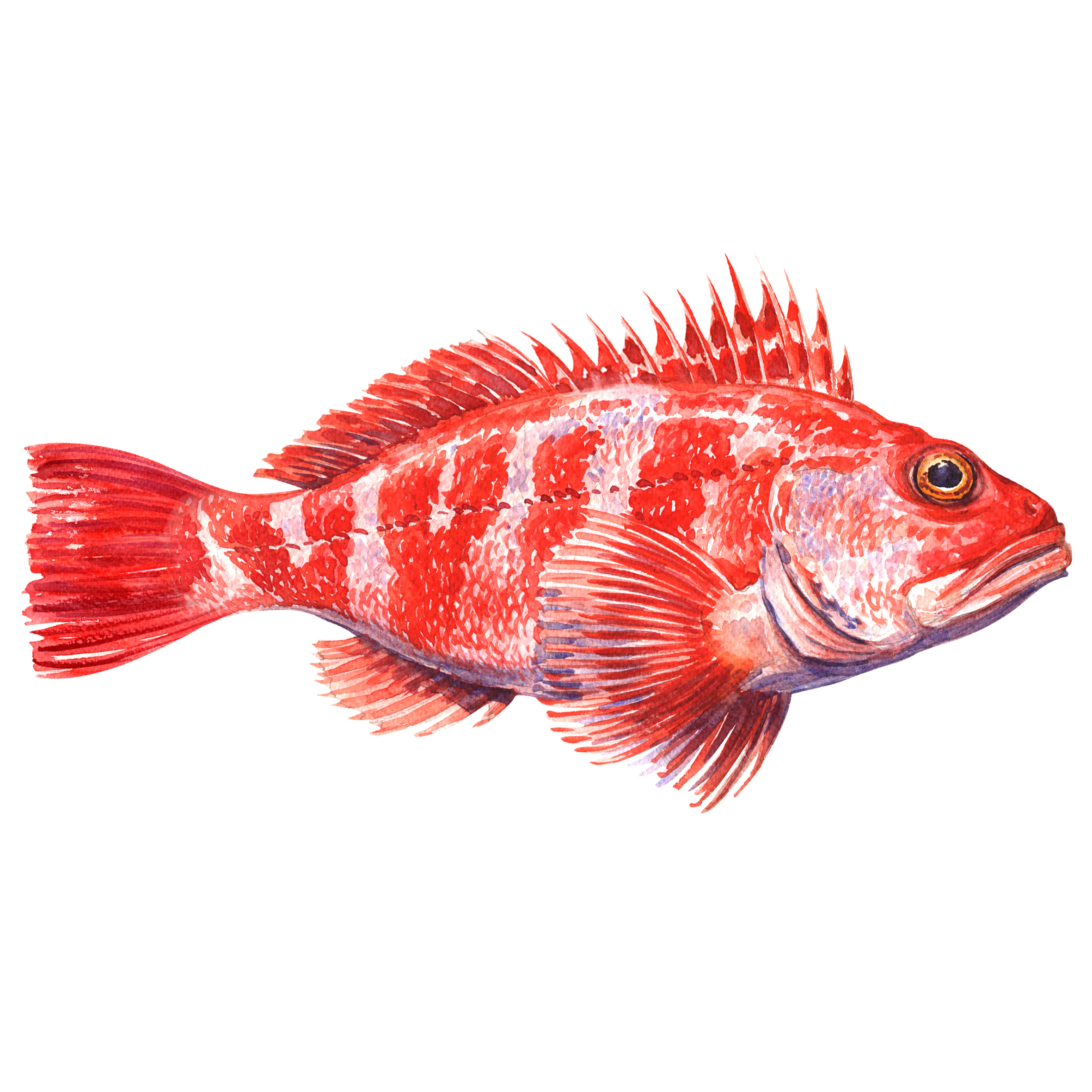 Maine Lobster Bait Crisis: Cooke Aquaculture Receives Approval for Blackbelly Rosefish