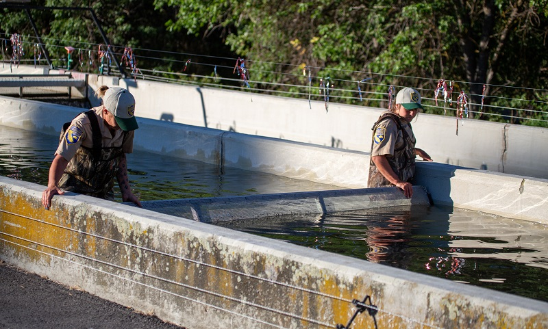 Drought Conditions in West Necessitate Klamath River Hatchery Salmon Relocation