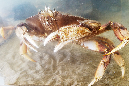 Late Starts, Fewer Crabs Mean Early Ending for Many Dungeness Crabbers This Season
