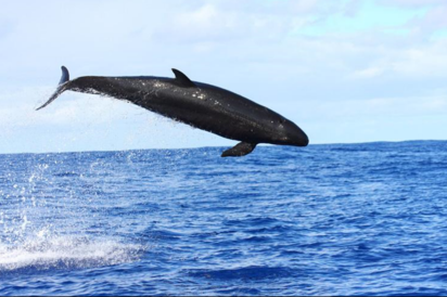 Scientists Recommend Better Management of False Killer Whale Impacts in Hawaii Fishery