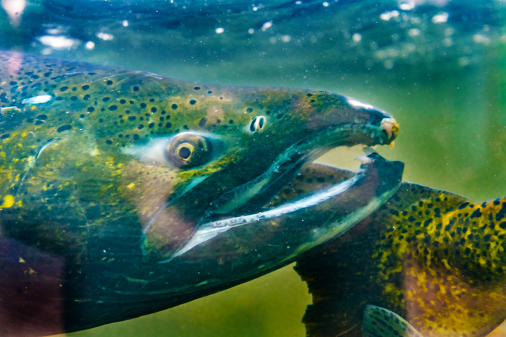 Pacific Council Finalizes Generally Improved Salmon Seasons for 2019