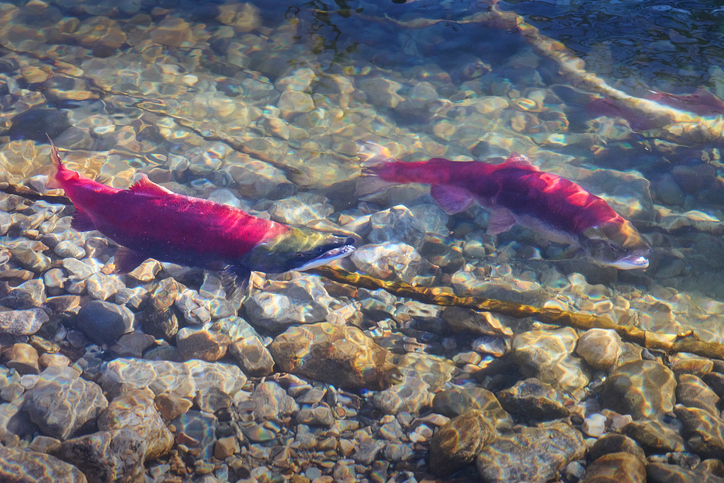Massive Effort Planned to Restore Upper Fraser for 2020 Salmon Return