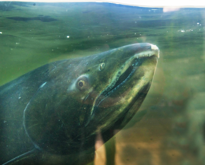 Survival of Orcas and Chinook Seasons in Pacific Northwest Depend on Hatcheries