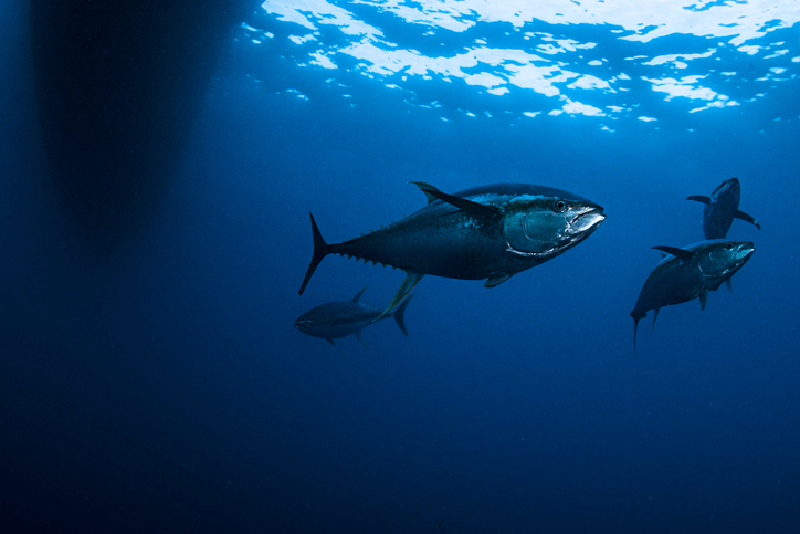 Pacific Meeting to Target Control of Tuna Fisheries