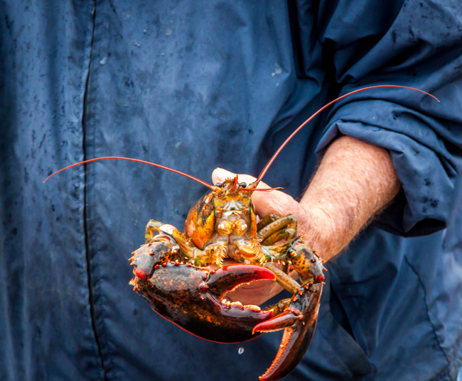Search for Lobster news on SeafoodNews com  SeafoodNews com