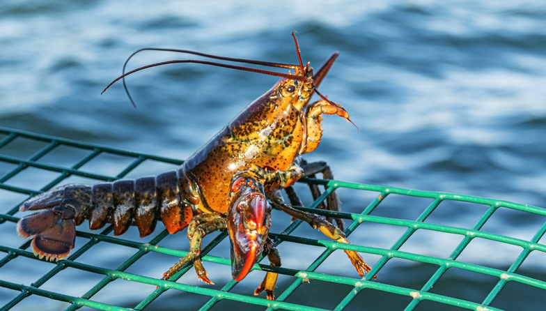University of Maine Lobster Institute Hosting Series of Webinars