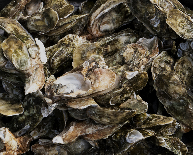 Louisiana Department of Wildlife and Fisheries Cracking Down on Illegal Oyster Harvesting
