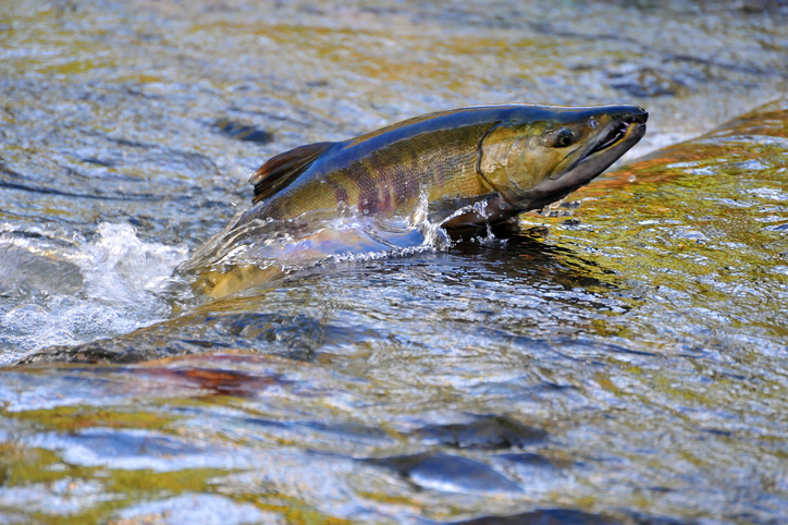 Fisheries Group Sues Over Salmon Management