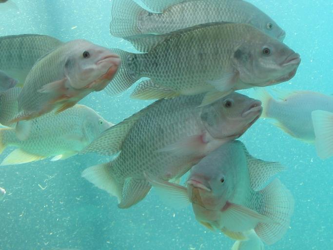 Study: Genetic Resistance to Tilapia Lake Virus Found in Certain Species
