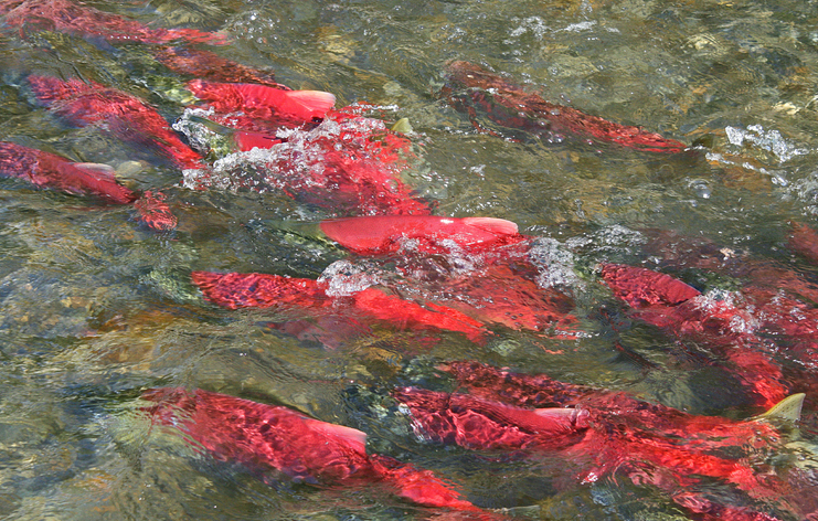 Big Sockeye Runs, Struggling Kings Creates Complicated Balancing Act for Bristol Bay Managers