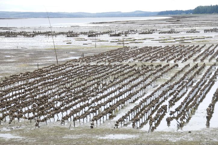 Could This Tool Save Washingtons Shellfish?