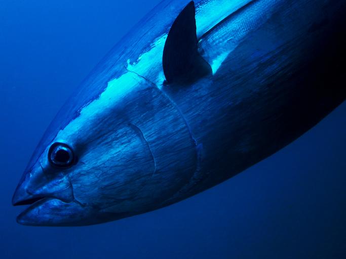 International Panel Omits Pacific Bluefin Tuna Quota Hike Again