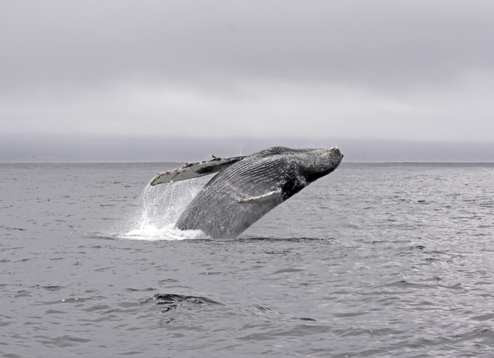 New Research Shows Environmental Changes Led to Uptick in Whale Entanglements off West Coast