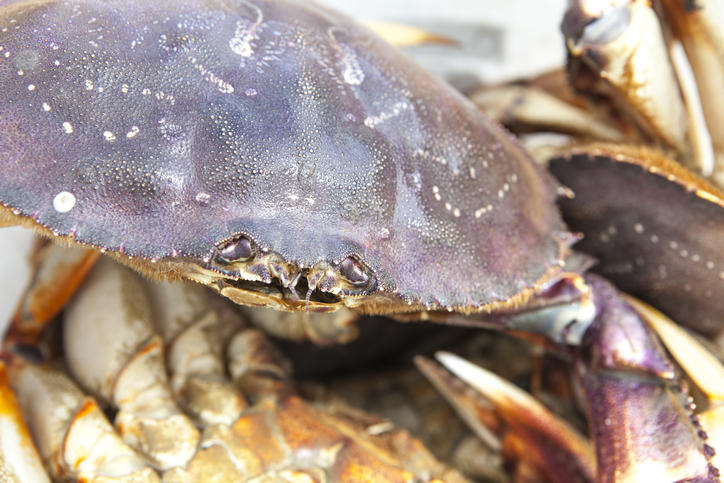 Crabbers Haul Up Best Dungeness Catches in Decades, Prices Sink