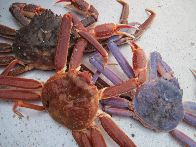 New Study: Tanner Crab Among Most Vulnerable in Eastern Bering Sea