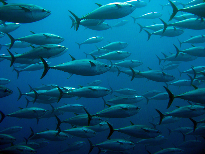Tuna's Carbon Ratios Indicate Changes in Oceanic Food Web