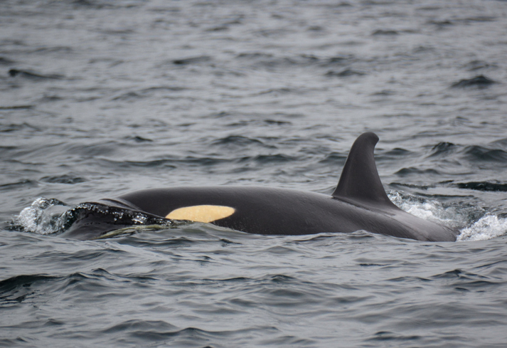 First of Many Bills to Help Save Orcas Now on Governor Inslees Desk