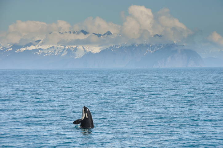 NOAA Fisheries: Alaska Chinook Harvest Not to Blame for Killer Whale Decline