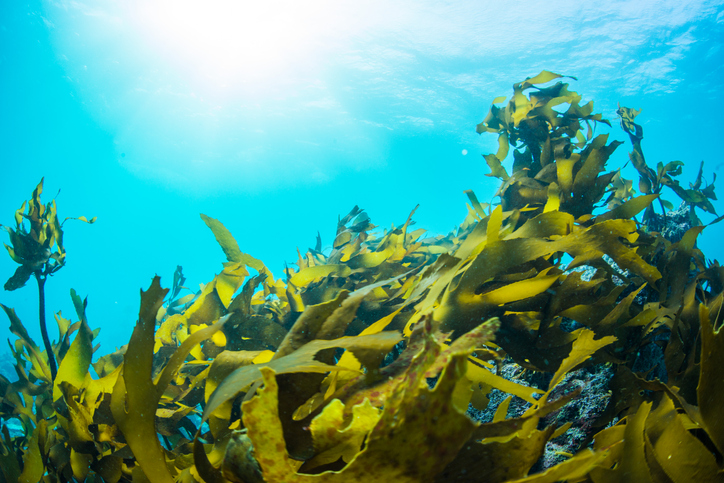Maine Seaweed Company Expands as Harvest Jumps 12,000 Percent Over Past 2 Seasons