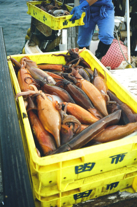 Frozen-at-sea Flying Squid from NW Pacific Starts 20% Cheaper at Hachinohe in Aomori Prefecture