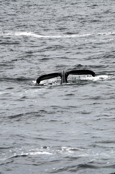 NOAA Report Says North Atlantic Right Whale Entanglements Lower, But Problems Still Remain