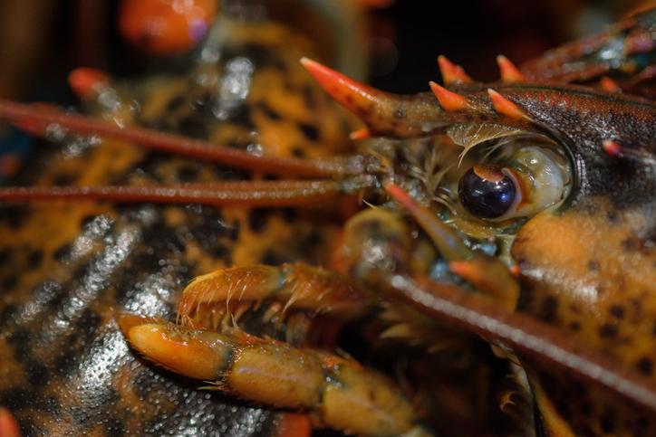 PETA Lodges Complaint Against Another Maine Lobster Processor
