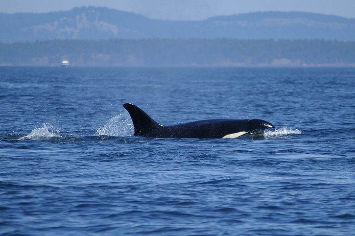 Washington Commission Supports WDFWs Attention to Orcas