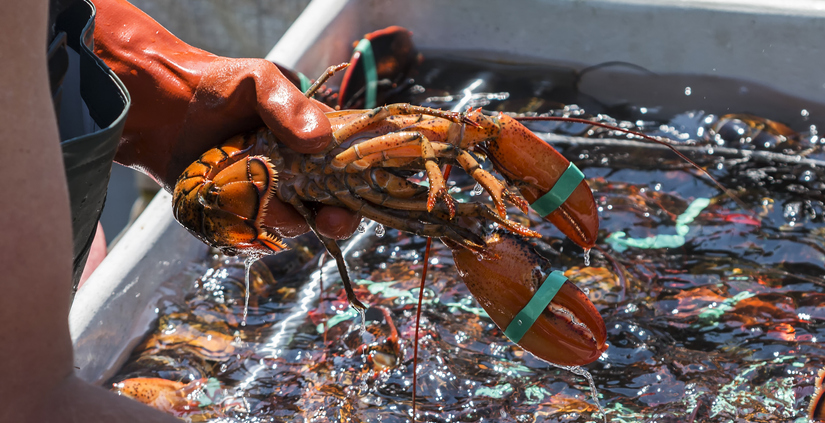 Lobster Landings 40 Percent Below Last Year, Leading to High Prices, Worried Fishermen