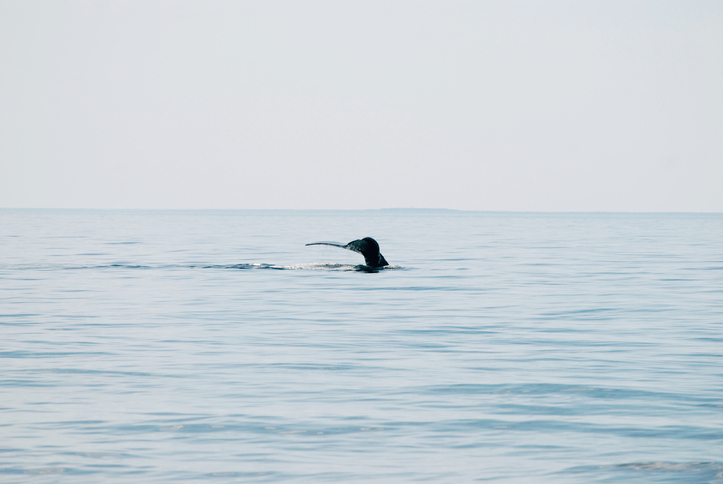 NOAA, Fisheries and Oceans Canada Discuss Short-Term Goals to Protect North Atlantic Right Whales