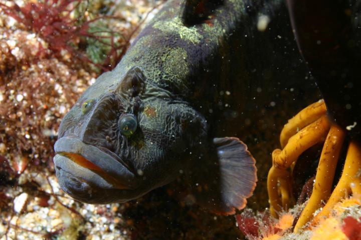 Veggie-loving Monkeyface Prickleback: New Aquaculture Species?
