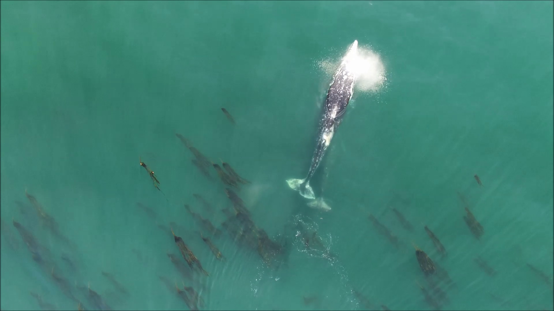 OSU Prof Uses Drones, GoPros to Track Oregon Gray Whale Behavior, Poop