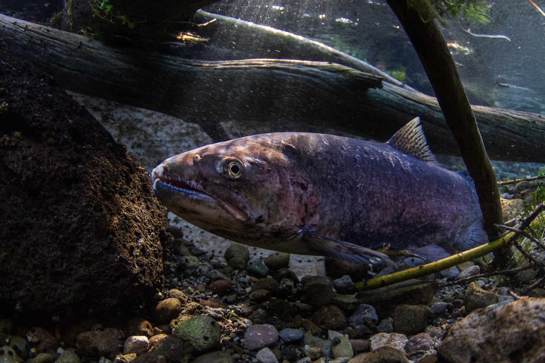 OSU, USFS Scientists use eDNA to Track Salmon, Trout Diversity