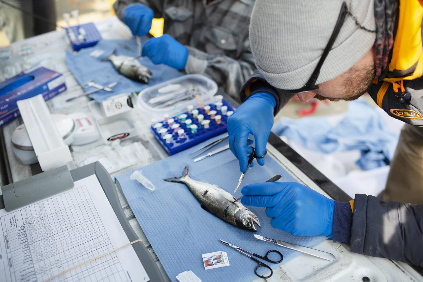 Three New Viruses Discovered in Endangered Wild Pacific Salmon Populations