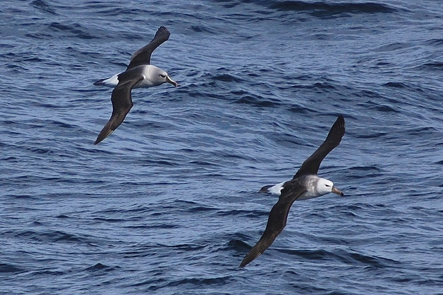 Satellite Study Says Tuna Longliners Vastly Misreporting Compliance with Sea Bird Avoidance