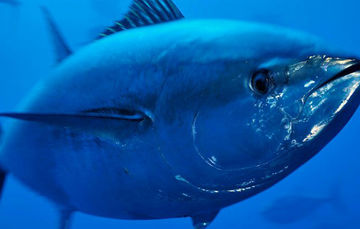 Mexico to Release 483 Tons of Live Tuna Taken Over IAATC Quota