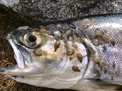 Sea Choice Says B.C. ASC Salmon Have High Lice Levels