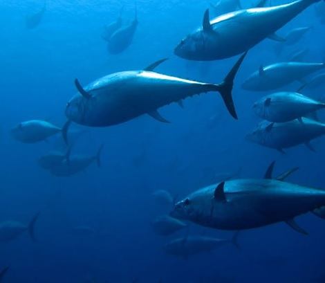 Consultation for Indonesia's Pivotal Tuna Management Plan Starts in Bali