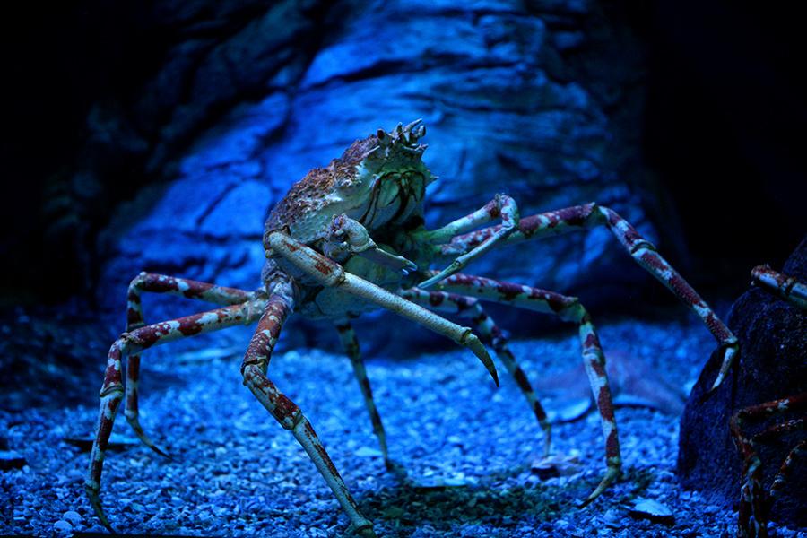 Alaska Snow Crab Increase is Bad News for Their Cousins